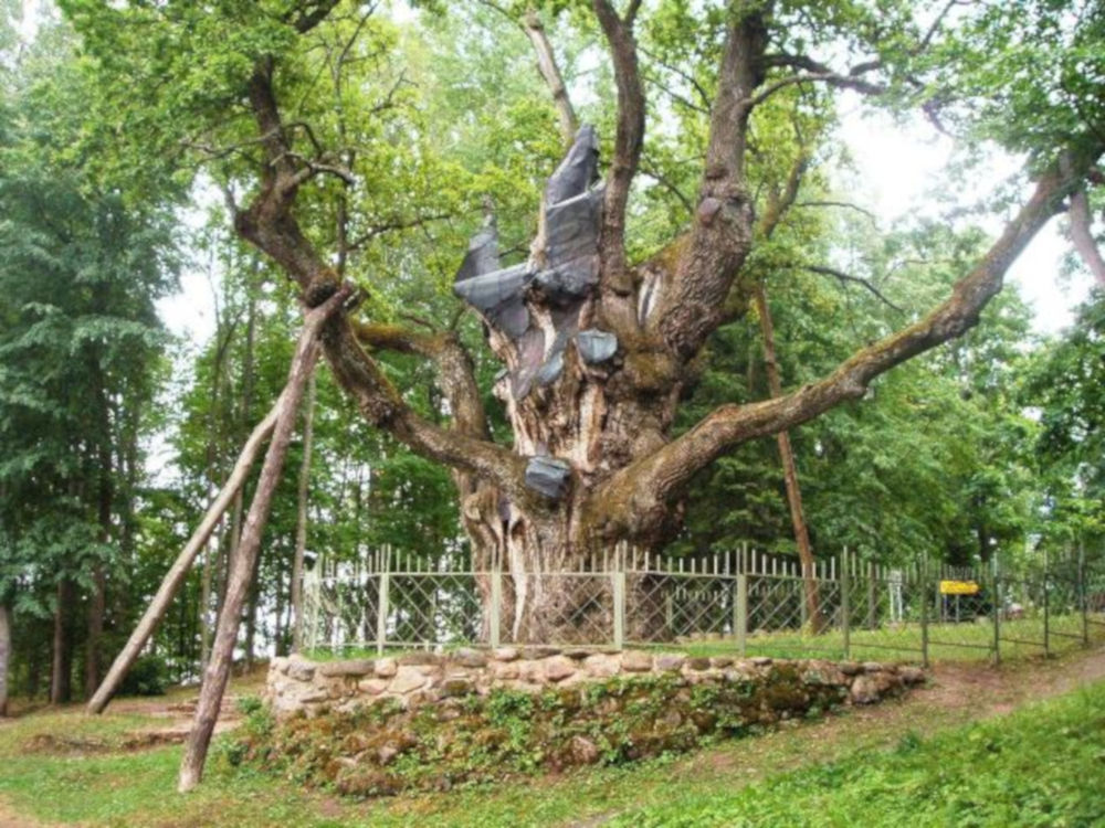 Stelmužė sacred oak